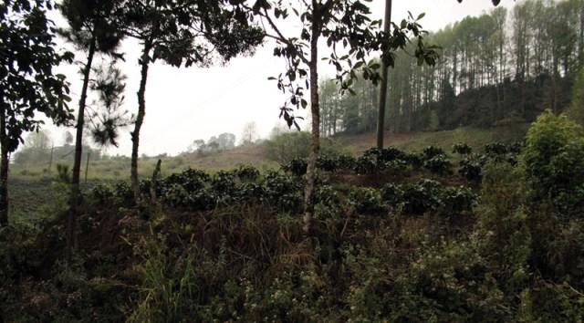 Coffee growing in Honduras