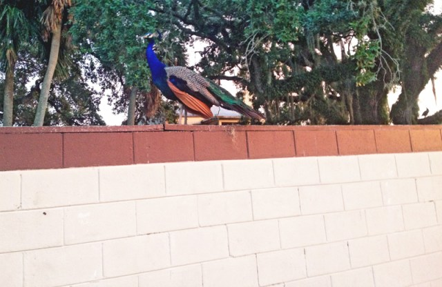 Florida Peacocks