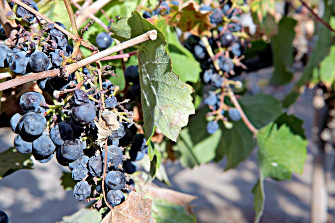 Concha y Toro Grapes