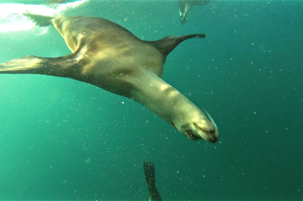 sea-lion-swimming-under-water