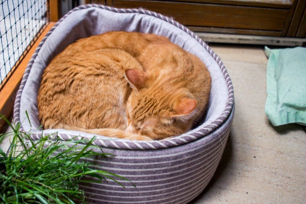 Sleeping orange tabby curled in a cat bed