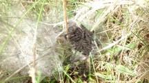 Glanville Fritillary larvae (Melitaea cinxia)