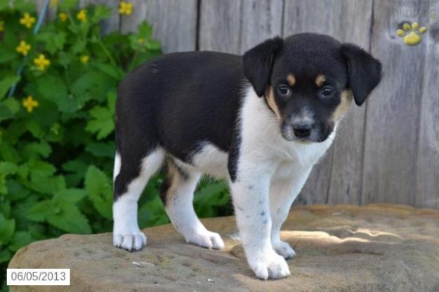puppy-australian-shepherd-mix-for-sale-puppiesforsaleinpatr3152061