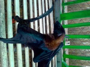 Turtle Island Bat