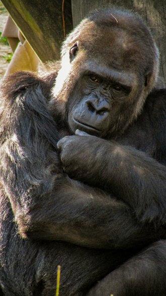 Grown silverback Gorilla staring at you