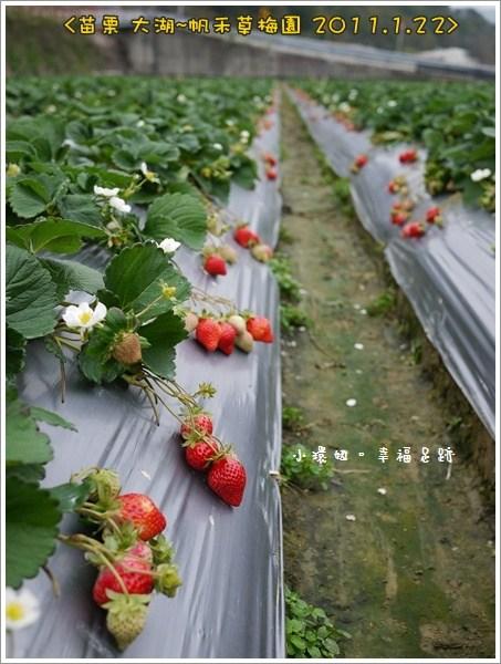 大湖採草莓,大湖草莓,大湖草莓推薦,帆禾草莓園,苗栗草莓 @小環妞 幸福足跡