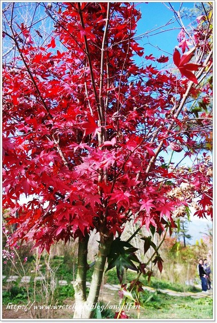 [台中賞楓]。福壽山農場♥楓正紅 (11.16楓況) @小環妞 幸福足跡