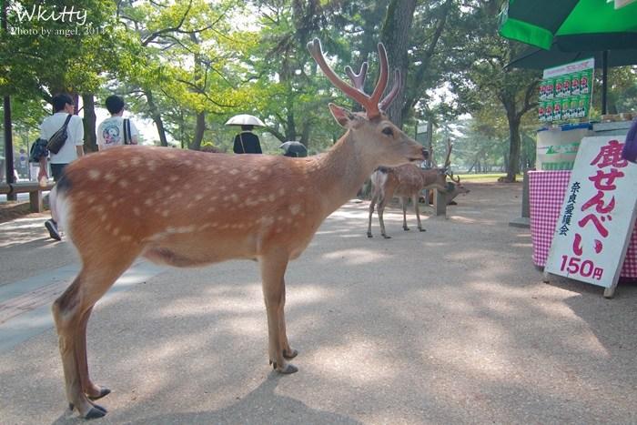 【奈良行程(27) 】奈良公園,東大寺,可愛又蠻橫的小鹿斑比我來了! @小環妞 幸福足跡