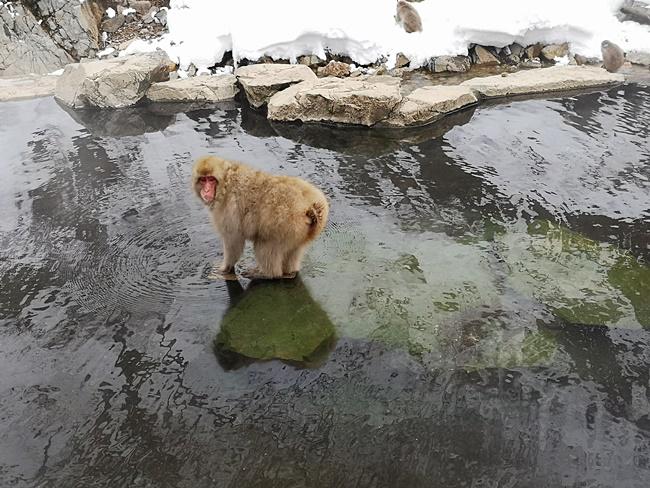 【日本猴子泡溫泉】長野地獄谷雪猴泡湯一日遊,一生必來~(有影) @小環妞 幸福足跡