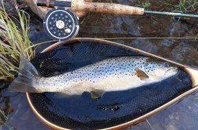 Trout fish AP