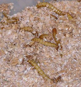 mealworms-in-bran