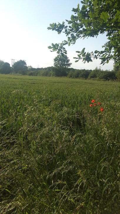 Poppies Field Warwickshire landscape View Katie Tiernan 2016-06-18