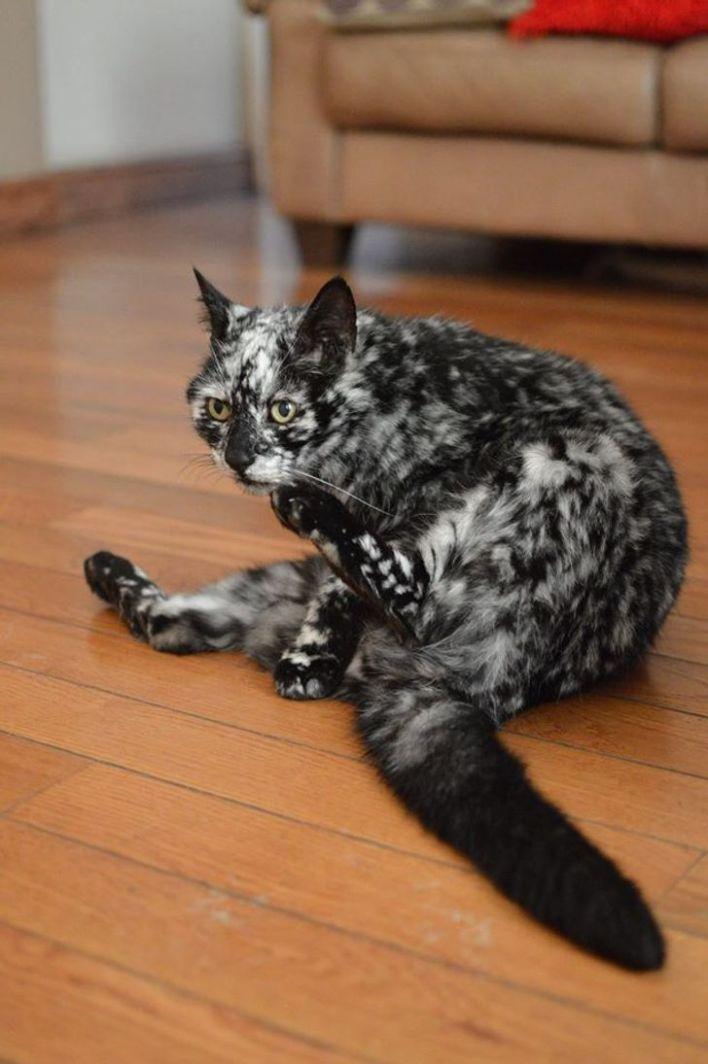 Black tabby cat with Vitiligo