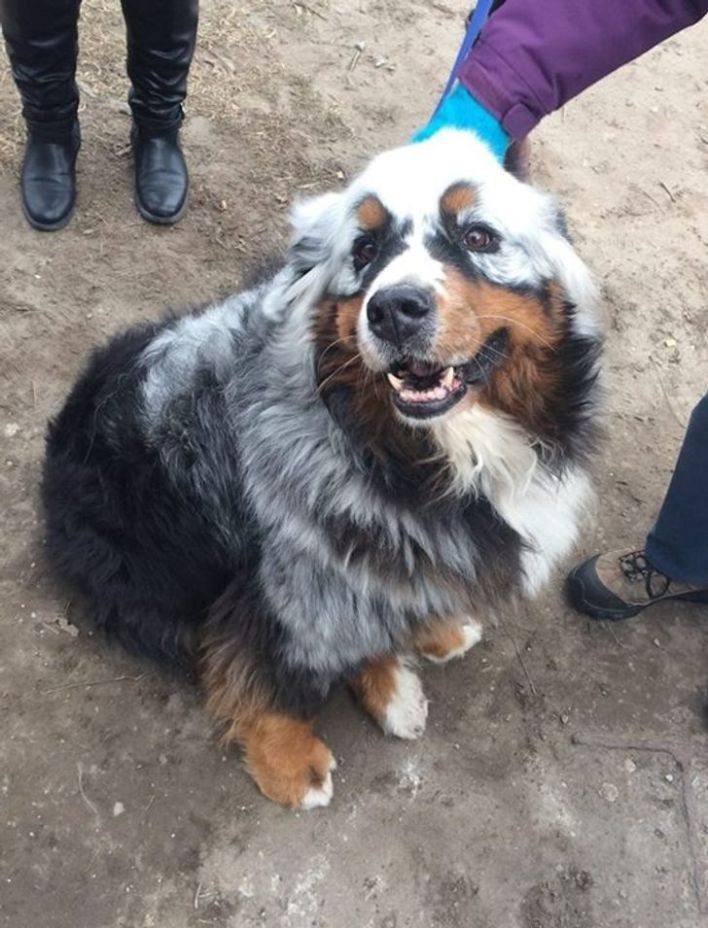 Gray and black dog with brown vitiligo