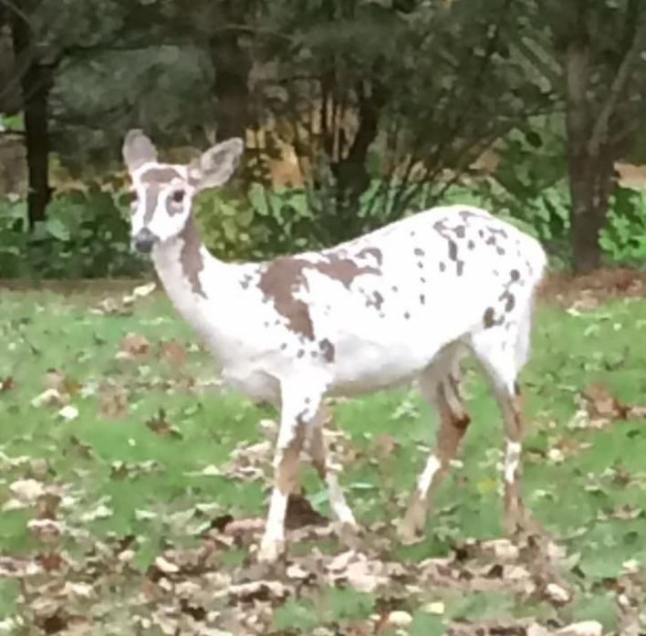 Reindeer with vitiligo roaming around