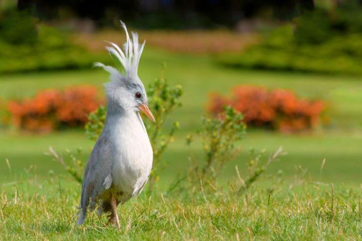 Beautiful kagu roaming around the garden