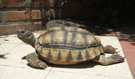 Do wrocławskiego zoo trafiły zagrożone wyginięciem żółwie argentyńskie