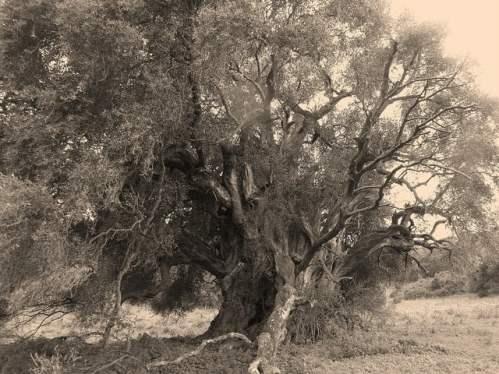 We Włoszech powstał spis największych zabytków przyrody. Najstarsze drzewo liczy sobie ponad 4 tysiące lat