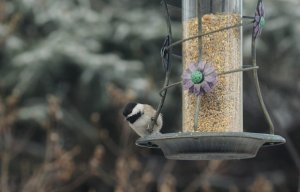 Niewłaściwe dokarmianie ptaków zimą czyni im więcej szkody niż pożytku