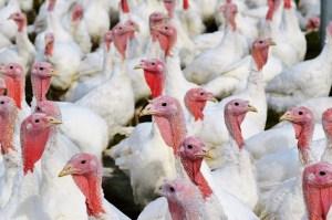 Wyniki kontroli NIK wskazują, że w hodowlach zwierząt antybiotyki są powszechnie używane