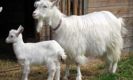 Do hodowców w całym kraju trafiło już 100 kóz ginącej starej polskiej rasy kozy karpackiej