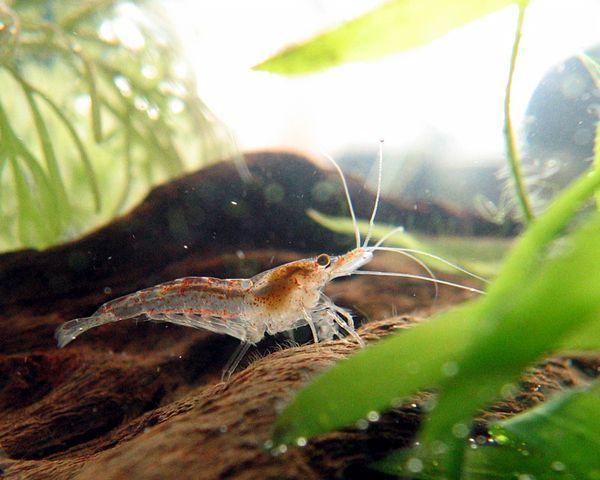 Pochodząca z Azji egzotyczna krewetka Neocaridina davidi zadomowiła się w Odrze. Może to być szkodliwe i niebezpieczne dla całych ekosystemów