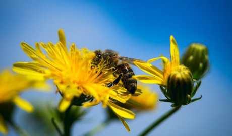Polscy naukowcy opracowali roślinny preparat wspomagający leczenie noesmozy - choroby pszczół