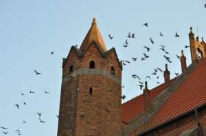 W otoczeniu starych, wysokich kościołów, zwiększa się różnorodność ptaków