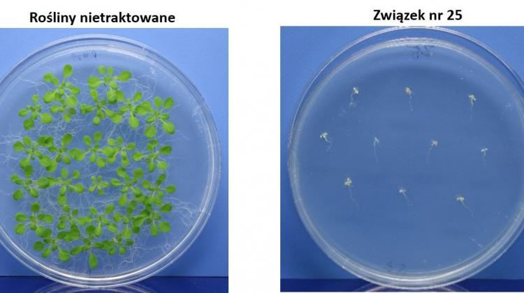 Biolodzy z UW odkryli bezpieczny dla środowiska sposób na chwasty