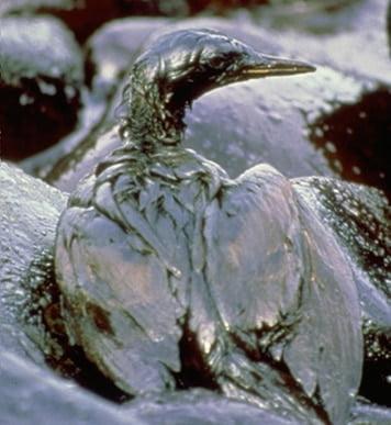 Ptak całkowicie pokryty ropą
