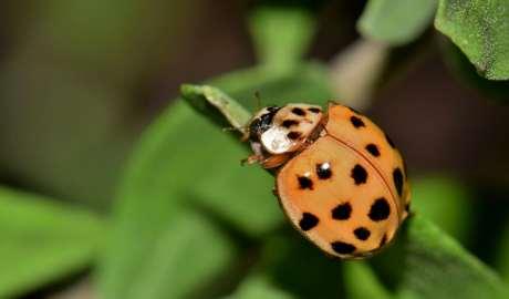 Różne podejścia i sposoby entomologów na inwazję azjatyckich biedronek