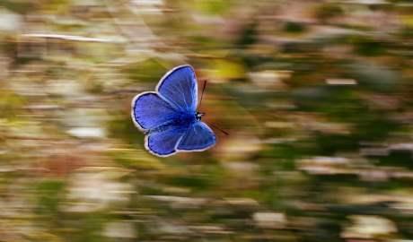 W Polsce z powodu szkodliwej działalności człowieka zagrożona wyginięciem jest prawie połowa gatunków motyli