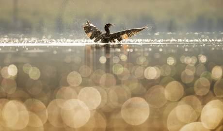 Przyłów to mało znane, ale istotne zagrożenie dla ptaków wodnych