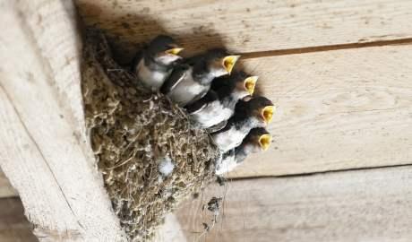 Modernizacja budynków na wsi niekorzystnie odbija się na populacji ptaków prowadzących lęgi wśród zabudowań mieszkalnych i gospodarczych