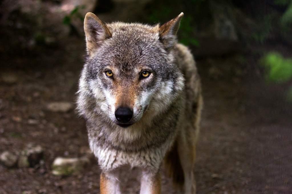 Naukowcy z Białowieży odłowili wilczyce, który od kilu miesięcy pojawiał się w miejscowości