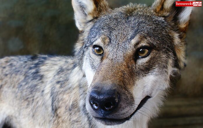 Wataha wilków napotkana na polu. Wideo
