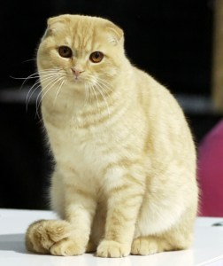 Scottish Fold (cat with ears that bend forward)