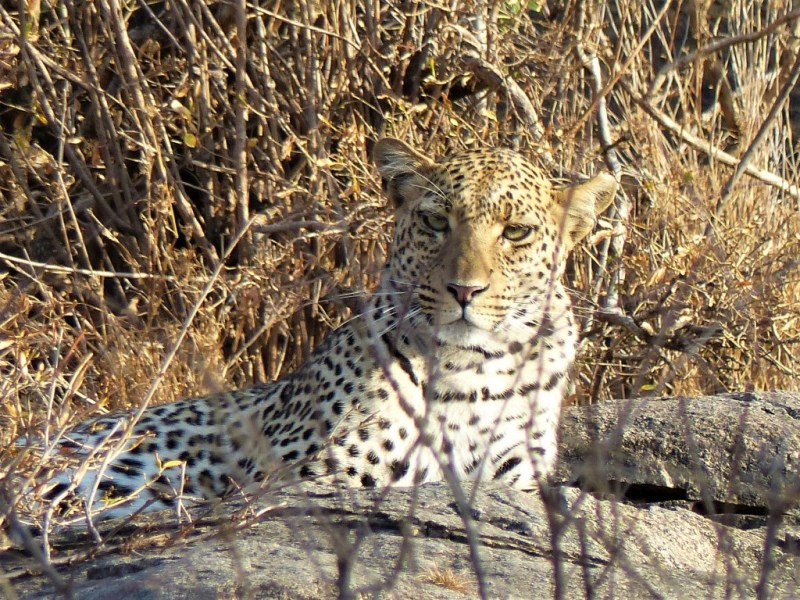 Wachsamer Löwe in Afrika