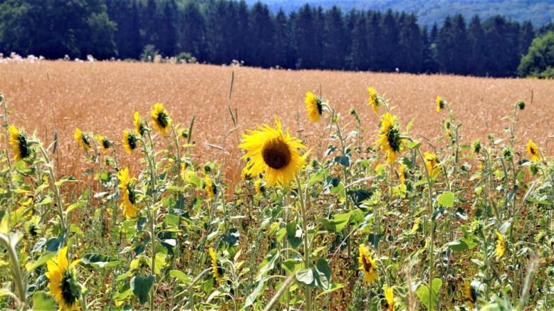 Sonnenblumen im Saarland
