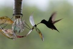 A graceful hummingbird visiting our makeshift feeder
