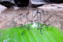 Dragonflies mating at Elena's site
