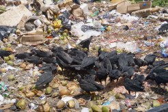 Black vultures at the dump