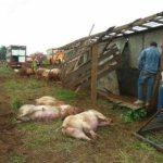 Große Schweinerei nach Unfall