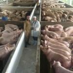 Illegale Einreise von Schweinen