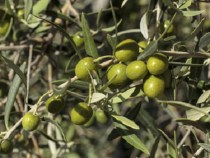 """Die """"goldene"""" Frucht in Paraguay"""