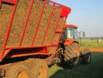 Schwerverletzter bei Zuckerrohrernte in deutscher Kolonie