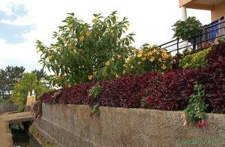 Trompetenblumenbaum an einer Levada auf Madeira