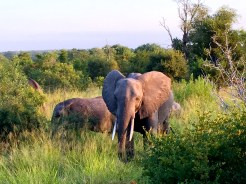 The Big Five - African Elephant