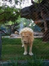 White Lion in the Secret Garden, Mirage Casino Hotel