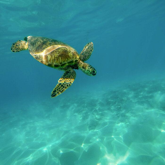 Liberación de tortugas en Wokii